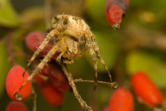 Araneus diadematus Royalty Free Stock Images