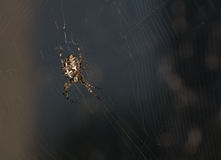 Araneus diadematus Stock Photography
