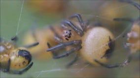 Araneus diadematus baby spiders on cobweb. Photo of newly born Araneus diadematus baby spiders all huddled together on their cobweb to keep warm taken 18th may stock footage