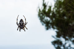 Araneus diadematus big spider. With a bright sky in the background Stock Photography