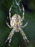 Araneus diadematus bottom of the spider Royalty Free Stock Images