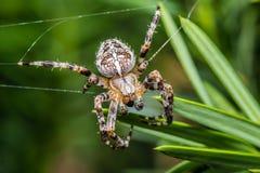Araneus diadematus - closeup - macro. The Garden cross spider sitting on web - Araneus diadematus - closeup - macro Royalty Free Stock Photos