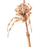 Araneus Diadematus da aranha isolado no fundo branco Foto de Stock