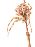 Araneus Diadematus del ragno isolato su fondo bianco Fotografia Stock