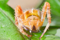Araneus diadematus Stock Photo