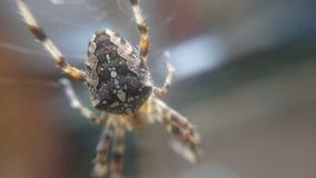 Araneus diadematus - Europejski ogrodowy pająk Zdjęcie Stock