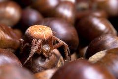 Araneus diadematus - Garden Spider Stock Photos
