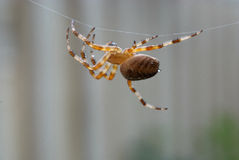 Araneus diadematus moving along a support thread. The European garden spider, cross spider or diadem spider has just finished building a web and is going to Royalty Free Stock Photo