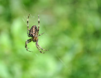 Araneus Diadematus spider. Hanging up in the tree Royalty Free Stock Photography