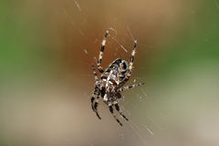 Araneus diadematus spider. The cross spider, Araneus diadematus is a medium spider which often occurs in the gardens and belongs to the family of orb-weavers Stock Photo