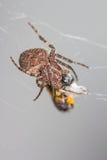 Araneus diadematus spider. A cute araneus diadematus spider Royalty Free Stock Photo