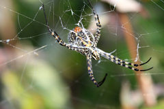 Araneus diadematus spider. Engaged in making the spider web Stock Photo