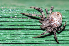 Araneus diadematus spider. Great quality sharp macro photo of an Araneus diadematus spider. True close up view and unusual view angle at the poison spider. This Stock Images