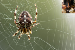 Araneus diadematus spider on web, with detail of epigyne Royalty Free Stock Photography