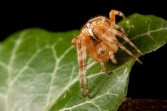 Araneus on the green leaf. Araneus spider with the cross on the back Stock Photo