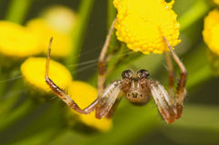 Araneus marmoreus Stock Photo