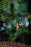 Araneus marmoreus, marbled orb weaver spider. Araneus marmoreus, marbled orb weaver spider, and web Royalty Free Stock Image