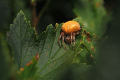 Araneus marmoreus Royalty Free Stock Images