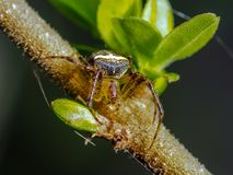 Araneus miniatus spider on branch. Orb Weaver spider, Araneus miniatus, spinning a web on a leaf lined tree branch Stock Images