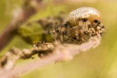 Araneus quadratus Stock Photo
