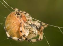 Araneus quadratus. Meadow knight while hunting. Dance on a rope Stock Photos