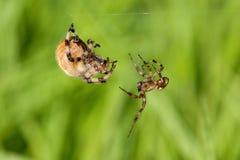 Araneus quadratus copulation. Reproduction of spiders Araneus quadratus is dangerous for males Stock Image