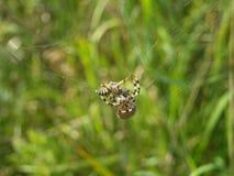 Araneus quadratus. Four spotted cross spider rolls wasp Royalty Free Stock Image