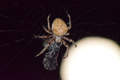 Araneus Spider on background of the moon Royalty Free Stock Image