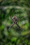 Araneus Spider. Black and Yellow Araneus Spider in her web.Araneus is a genus of common orb-weaving spiders. It includes about 650 species, among which are the Royalty Free Stock Photography