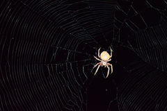Araneus Spider hunts at night. Night spider on its web Stock Photography
