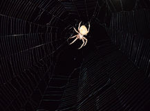 Araneus Spider hunts at night. Night spider on its web Royalty Free Stock Images