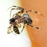 Araneus spider sucks wasp. Araneus spider sucks captured wasp close up Stock Image