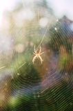 Araneus spider in the web. Royalty Free Stock Photography