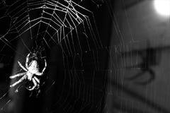 Araneus transversal europeu Diadematus da aranha imagem de stock