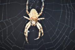Araneus transversal europeu Diadematus da aranha na Web imagem de stock royalty free