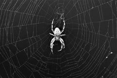 Araneus transversal europeu Diadematus da aranha na Web imagens de stock
