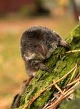 Araneus van Sorex. Royalty-vrije Stock Fotografie