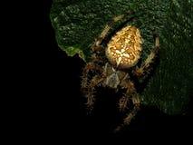Araneusdiadematus för trädgårds- spindel Arkivbild