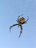 Aranha. Fotografia de Stock