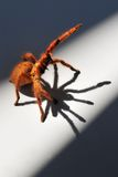 Aranha alaranjada 3 do babuíno fotos de stock