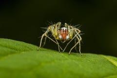 Aranha alaranjada do lince Fotos de Stock Royalty Free