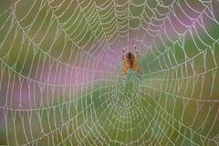 Aranha alaranjada na Web na manhã com gotas do orvalho transparente nela imagens de stock royalty free