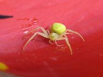 Aranha amarela Fotografia de Stock Royalty Free