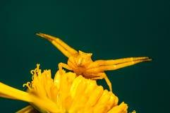 Aranha amarela do caranguejo foto de stock royalty free