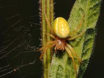 Aranha amarela do caranguejo Imagem de Stock