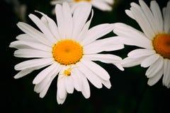 Aranha amarela em uma flor da margarida Fotografia de Stock Royalty Free