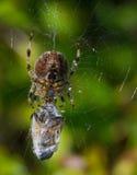 Aranha assustador que alimenta em sua rapina Imagens de Stock Royalty Free