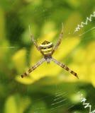 Aranha bonita da assinatura Imagens de Stock Royalty Free