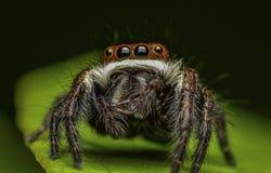 Aranha bonita do assassino do inseto em malaysia imagens de stock royalty free