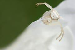 Aranha branca 1 do caranguejo fotografia de stock